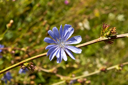 Royalty Free Photo of a Blue Flower