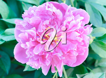 Royalty Free Photo of a Pink Peony