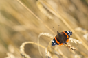 Red Admiral butterfly (Vanessa atalanta) on an ear of wheat
