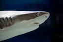 Royalty Free Photo of a Reef Shark