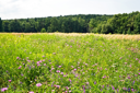 Royalty Free Photo of a Clover Field