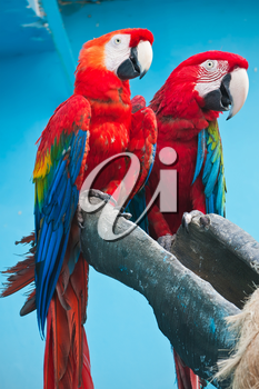 Couple of cute tropical parrots Ara macao or Scarlet Macaw