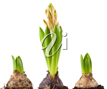 Royalty Free Photo of Three Blubs of a Hyacinth Plant
