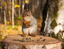 Royalty Free Photo of a Squirrel Eating on Top of a Tree Stump