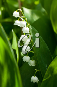 Royalty Free Photo of a Blooming Lily of the Valley
