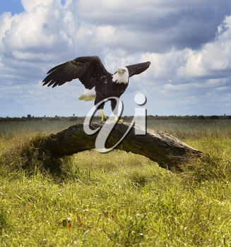 American Bald Eagle Perching On A Tree
