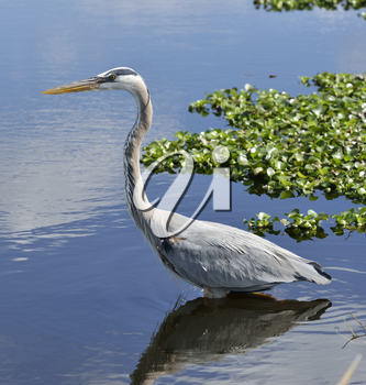 Great Blue Heron In Florida Wetlands