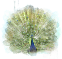 Watercolor Digital Painting Of Peacock
