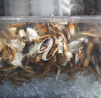 Alaskan King Crab On Ice In A Plastic Container