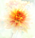 Digital Painting Of Dahlia Flowers.Soft Focus