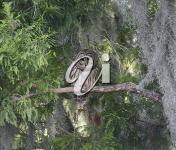 Barred Owl Perching On Branch