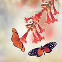 Trumpet Vine Bloom and Butterflies
