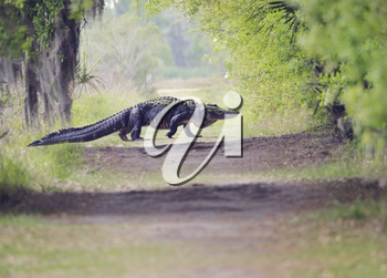Large Florida Alligator Crossing the Trail