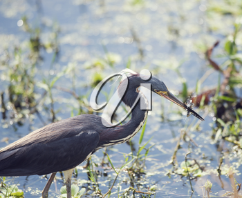 Tricolored Heron catching a fish In Florida Wetlands