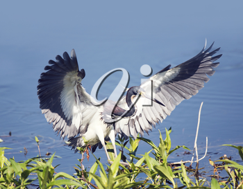 Tricolored Heron In Florida Wetlands