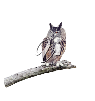 Great Horned Owl perched on a branch isolated on white background