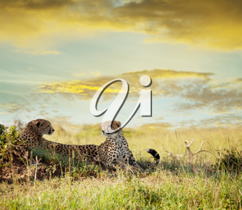Royalty Free Photo of Cheetahs