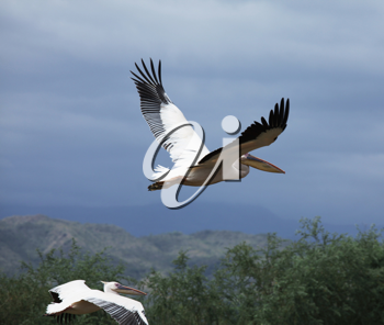Royalty Free Photo of Flying Pelicans