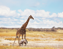 Royalty Free Photo of a Giraffe and a Gembok