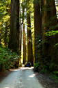 Royalty Free Photo of a Car in a Sequoia Forest