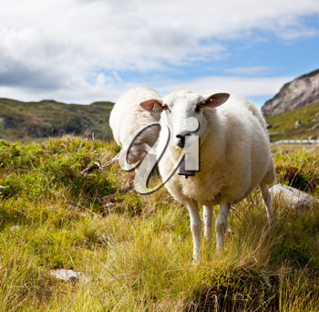 Royalty Free Photo of Sheep