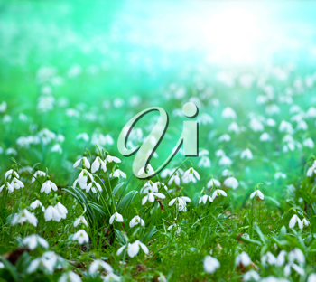 Royalty Free Photo of Snowdrops