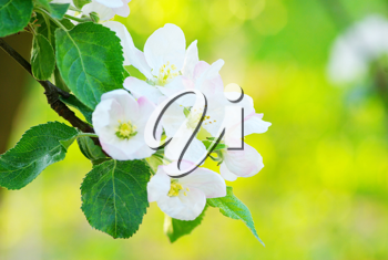 Royalty Free Photo of Apple Tree Blossoms