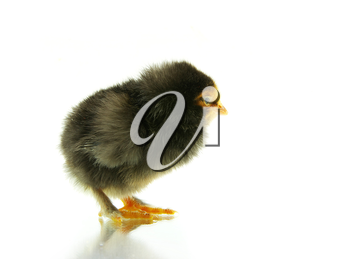 Cute little baby chicken isolated on white background
