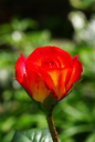 a close-up of a red rose