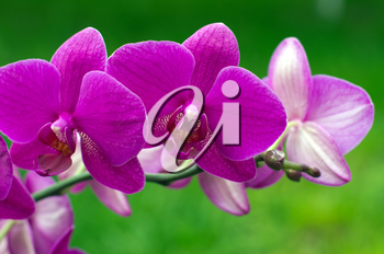 orchid flower with green in background