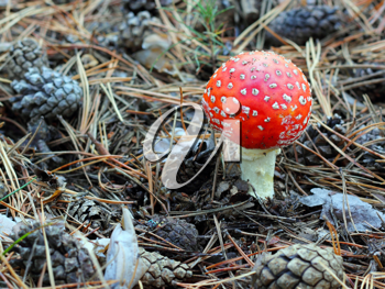 fly agaric in forest