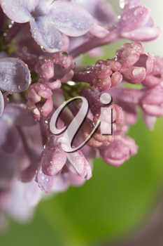 beautiful background of the flowers of lilac