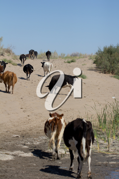cows are on a dusty road