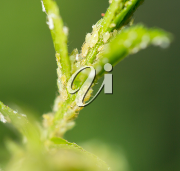 Aphids Under a Leaf