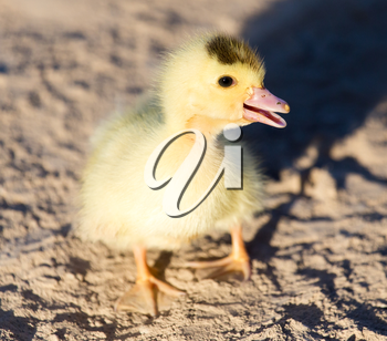little duckling in nature