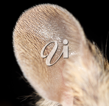 mouse ear. close-up