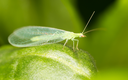 Green leaves taken lacewing flies, close-up images