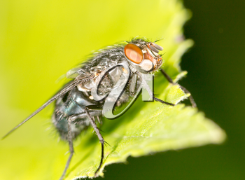 fly on a green leaf. close