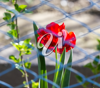 tulip behind the fence