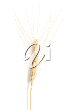 ear of wheat on a white background