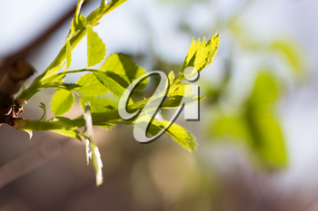 young leaves on the tree in nature