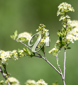 white flowers on a branch of a bush