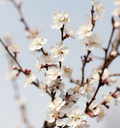 apricot flowers on a tree in nature