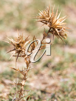 Dry prickly plant in nature