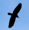 Crow on a background of blue sky