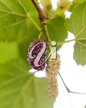 mulberry berry on the tree in nature
