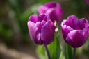 Beautiful purple tulips in a park in nature
