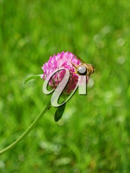 Bee collect pollen on red clover flower on green grass background