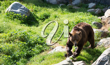 Europena Brown bear walking in the forests of Finalnd.