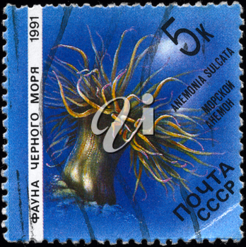 USSR - CIRCA 1991: A Stamp printed in USSR shows image of a Sea Anemone with the description Anemonia sulcata from the series Fauna of the Black Sea, circa 1991